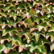 Background of green ivy — Stock Photo