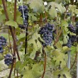 Merlot grapes — Stock Photo #30089043