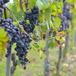 Grapes on the vine — Stock Photo #30089315