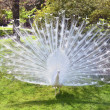 White peacock with flowing tail — Stock Photo