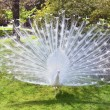Stock Photo: White peacock with flowing tail