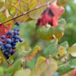 Merlot grapes — Stock Photo #30851775