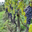 Grapes on the vine — Stock Photo #31872359