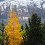 Постер, плакат: Yellow larch among the green firs