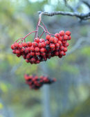 Red ripe rowan on a branch — Stock Photo