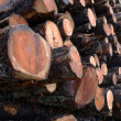 Stock Photo: Larch logs at logging