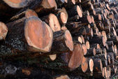 Larch logs at logging — Stock Photo