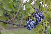 Grapes on the vine — 图库照片