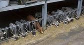Cows eat feed on the farm — Stockfoto