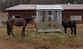 Horses eating hay — Stock Photo