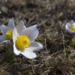 Primrose in alpine meadows — Stock Photo