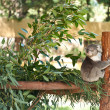 Koala bear sitting on a eucalyptus tree branch - Stock Photo