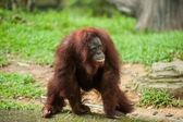 Orangutan in a zoo — Stock Photo