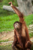 Orangutan making gestures (this image is part of a series) — Stock Photo