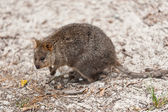 Quokka with infected ta — Fotografia Stock