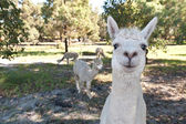 White alpaca couple in free range zoo — Stock Photo