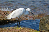 Heron walking along-shore — Stock Photo