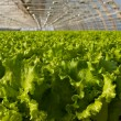 Greenhouse lettuce — Stock Photo