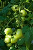 Tomates verdes — Foto Stock