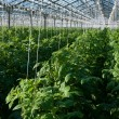 Stock Photo: Tomato plants