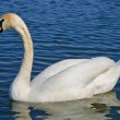 White swan — Stock Photo #38421633
