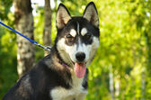 Dog Portrait - Husky — Stock Photo