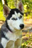 Dog Portrait - Husky — Stock Photo