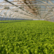 Stock Photo: Greenhouse lettuce