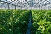 Tomato plants — Stock Photo