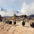 Yaks in mountains of Nepal — Stock Photo