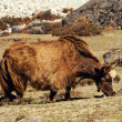 Yak grazing in Himalayas — Stock Photo