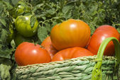 Basket of tomatoes in the garden — Stock Photo