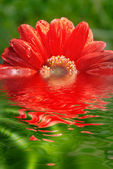 Fresh red daisy — Stock Photo