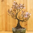 Japanese plum blossom bonsai (Prunus cerasifera) — Stock Photo