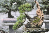 Bonsai spruce in the garden, picea — Stock Photo