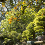 Chinese elm (Ulmus Parvifolia) bonsai in the garden — Stock Photo #24140873