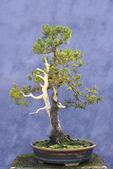 Bonsai tree European spruce (Picea abies) — Stock Photo