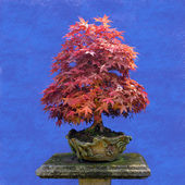 Bonsai tree  Japanese maple  — Stock Photo