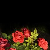 Bouquet de roses rouges sur fond noir — Photo