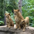 Family of lions — Stock Photo #12233396