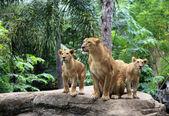 Famille de lions — Photo