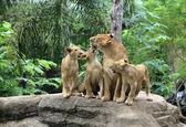 Familia de leones — Foto de Stock