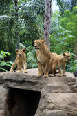 Family of lions — Foto Stock