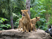 Family of lions — Stock fotografie