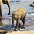 Baby Indian elephant — Stock Photo