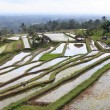 Stock Photo: Terraced rice