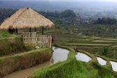 Terraced rice — Stock Photo