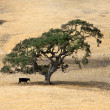 Lonely tree and cow — Stock Photo