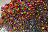 Echeveria or Stone Rose — Stock Photo