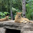 Family of lions — Stock Photo #15326367